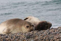 Kvinnlig för havselefant Arkivfoto