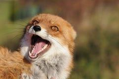Kvinnlig för röd räv (Vulpesvulpesen) Royaltyfri Bild
