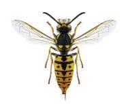 Kvinnlig för Wasp Vespulagermanica Arkivfoton