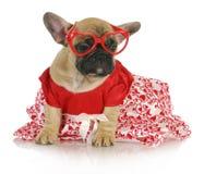 Kvinnlig fransk bulldogg Royaltyfria Foton