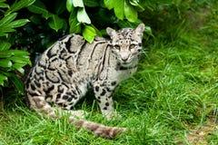 Kvinnlig fördunklad Leopard som sitter under Bush Arkivfoto
