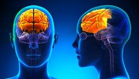 Kvinnlig Frontal lob Brain Anatomy - blått begrepp Royaltyfri Fotografi