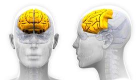 Kvinnlig Frontal lob Brain Anatomy - som isoleras på vit vektor illustrationer