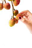 Kvinnlig frukt för handplockninglitchiplommon royaltyfri foto