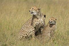 Kvinnlig gepard (Acinonyxjubatus) med gröngölingar Sydafrika Fotografering för Bildbyråer