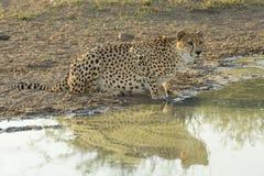 Kvinnlig gepard (Acinonyxjubatus) som dricker Sydafrika Arkivbild