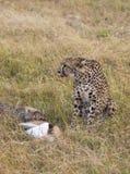 Kvinnlig gepard med blod från hennes nya byte på hennes haka med det Thomsons gasellbytet och hennes gröngöling i högväxt gräs i  royaltyfria foton
