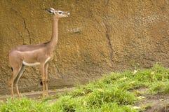 Kvinnlig Gerenuk arkivbild