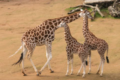 Kvinnlig giraff med kalvar arkivfoto