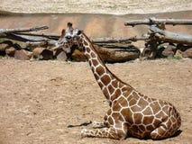 Kvinnlig giraff på zoo Arkivfoto