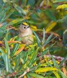 Kvinnlig Goldcrest i en buske arkivbild