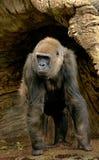Kvinnlig gorilla royaltyfri fotografi