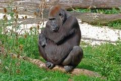 Kvinnlig gorilla för västra lågland Arkivbild
