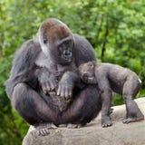 Kvinnlig gorilla som att bry sig för barn Arkivbild