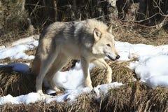 Kvinnlig grå varg Arkivbilder
