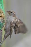 Kvinnlig gråsparv på en fågelförlagematare Arkivfoto