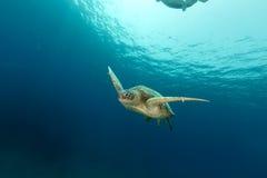Kvinnlig grön sköldpadda i Röda havet Arkivfoton