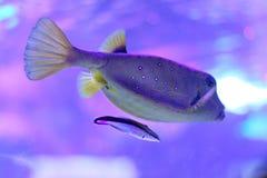 Kvinnlig gul boxfish som medföljs av en mer ren wrasse royaltyfri bild