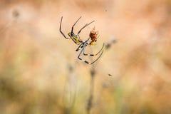 Kvinnlig Guld--orb spindel i en rengöringsduk med hennes rov i den Selati lekreserven royaltyfria foton