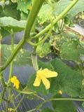 Kvinnlig gurkablomma som är klar för pollination arkivbild