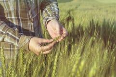 Kvinnlig hand i kornfältet, undersökande växter för bonde, jordbruks- begrepp royaltyfria bilder