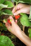 Kvinnlig hand skördad skördjordgubbe Arkivfoto