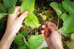 Kvinnlig hand skördad skördjordgubbe Fotografering för Bildbyråer