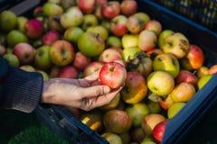 Kvinnlig hand som rymmer ett organiskt äpple arkivbild