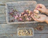Kvinnlig hand - sorterade gladioluskulor royaltyfri bild