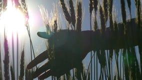 Kvinnlig handnärbild på ett vetefält lager videofilmer