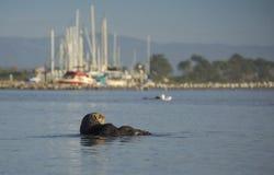 Kvinnlig havsutter Fotografering för Bildbyråer