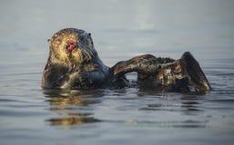 Kvinnlig havsutter Royaltyfri Fotografi