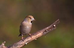 Kvinnlig Hawfinch på filial Royaltyfria Bilder