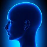 Kvinnlig Head anatomi för sida Arkivfoto