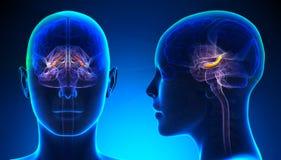 Kvinnlig Hippocampus Brain Anatomy - blått begrepp Arkivfoto