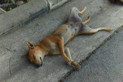 Kvinnlig hundsömn upp sida ner och att fördela lägger benen på ryggen Royaltyfri Foto