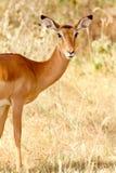 Kvinnlig impala arkivfoto