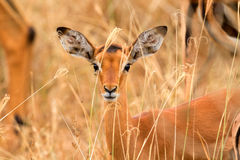 Kvinnlig impala arkivbilder