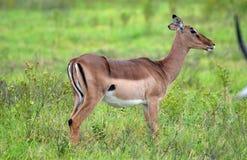 Kvinnlig impala Royaltyfria Foton