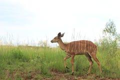 Kvinnlig impala i Mlilwane djurlivfristad i Swaziland, sydliga Afrika fotografering för bildbyråer