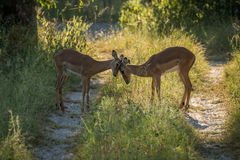 Kvinnlig impala som knuffar huvud i fläckigt solljus Fotografering för Bildbyråer
