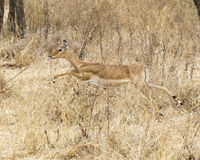 Kvinnlig impalaspring Royaltyfria Foton