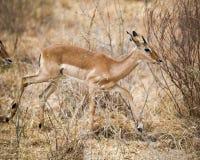 Kvinnlig impalaspring Arkivbild