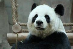 Kvinnlig jätte- panda i Chiangmai, Thailand arkivfoto
