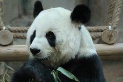 Kvinnlig jätte- panda i Chiangmai, Thailand royaltyfri foto
