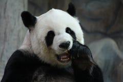 Kvinnlig jätte- panda i Chiangmai, Thailand arkivbild