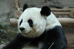Kvinnlig jätte- panda i Chiangmai, Thailand arkivbilder