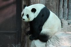 Kvinnlig jätte- panda i Chiangmai, Thailand royaltyfri fotografi