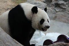 Kvinnlig jätte- panda i Thailand royaltyfria foton