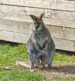 Kvinnlig känguru med det unga djuret Arkivfoto